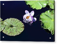 Lily Love II Acrylic Print by Suzanne Gaff