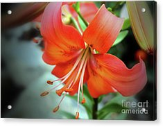 Lily Love Acrylic Print