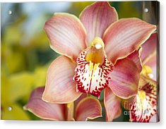 Lily-like Lovelies  Acrylic Print by A New Focus Photography