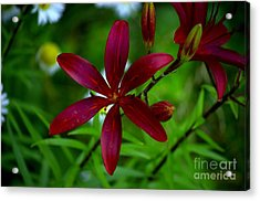 Lily Maroon Acrylic Print by The Stone Age