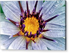 Lily Not Quite In Focus Acrylic Print