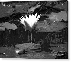 Lily Of The Lake Acrylic Print