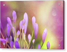 Lily Of The Nile Buds In Summer  Acrylic Print