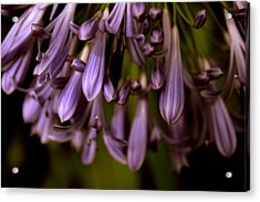 Lily Of The Nile Acrylic Print by Jessica Jenney