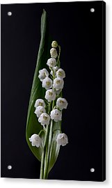 Lily Of The Valley On Black Acrylic Print