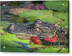 Acrylic Print featuring the photograph Lily Pad Gator by Tom Claud