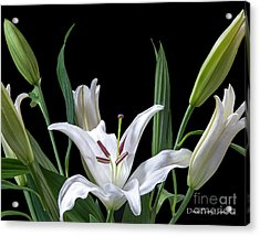 Acrylic Print featuring the photograph A White Oriental Lily Surrounded by David Perry Lawrence