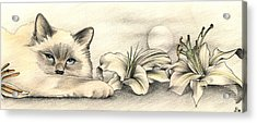 Lily The Birman Acrylic Print