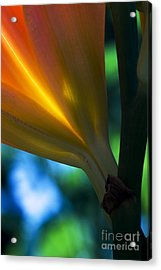Lily Torchere Acrylic Print by Shawn Young