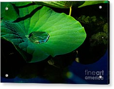 Lily Water Acrylic Print