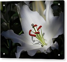 Acrylic Print featuring the photograph Lily White by Robert Pilkington
