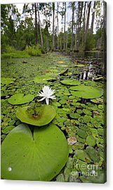 Lilypads And Flower In The Cypress Swamp Acrylic Print