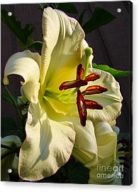 Lily's Morning Acrylic Print by Pamela Clements