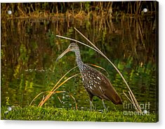 Limpkin At Water's Edge Acrylic Print by Tom Claud