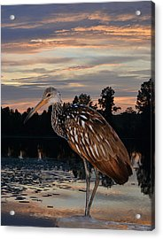 Limpkin - Morning Sunrise Acrylic Print
