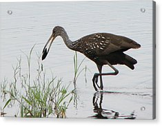 Limpkin With Shellfish Acrylic Print