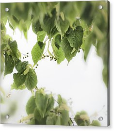 Linden In The Rain 2 -  Acrylic Print