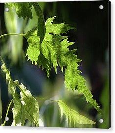 Linden Leaf - Acrylic Print