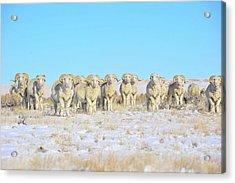 Line Em Up Rams Acrylic Print