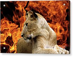 Lion And Fire Acrylic Print by Inspirational Photo Creations Audrey Woods