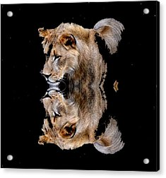 Lion And It's Reflection Acrylic Print