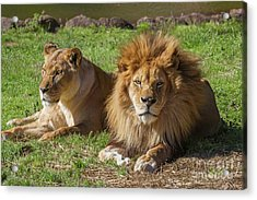 Lion And Lioness Acrylic Print