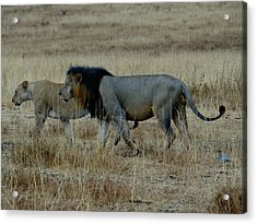 Lion And Pregnant Lioness Walking Acrylic Print