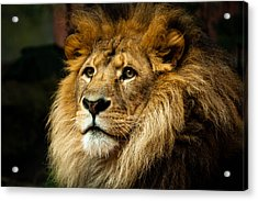 Lion Acrylic Print by Ann Clarke Images