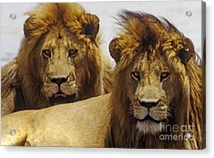 Lion Brothers - Serengeti Plains Acrylic Print by Craig Lovell