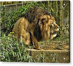Lion Calling Females Acrylic Print by Keith Lovejoy