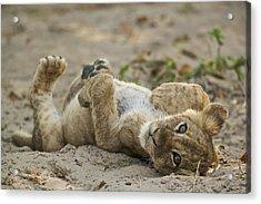 Lion Cub Acrylic Print by Johan Elzenga