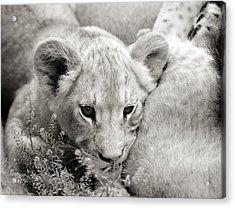 Lion Cub Acrylic Print