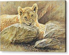 Lion Cub Study Acrylic Print