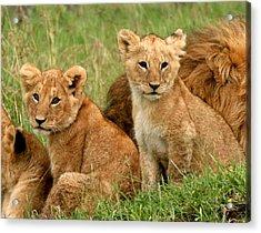 Lion Cubs - Too Cute Acrylic Print by Nancy D Hall