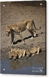 Lion Cubs And Mom Get A Drink Acrylic Print by Darcy Michaelchuk