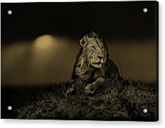 Lion Earless At Sunset In Masai Mara, Kenya Acrylic Print by Maggy Meyer