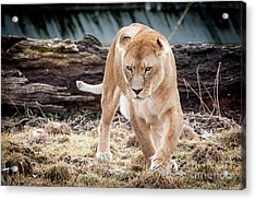 Acrylic Print featuring the photograph Lion Eyes by John Wadleigh