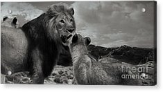 Acrylic Print featuring the photograph Lion Family Panorama by Christine Sponchia