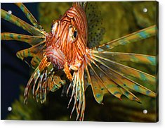 Lion Fish 2 Acrylic Print by Kathryn Meyer