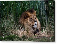 Lion In The Grass Acrylic Print by Graham Palmer
