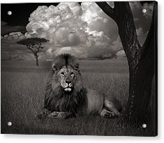 Lion In The Grass Acrylic Print