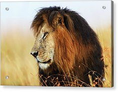 Lion King Notch In Masai Mara Acrylic Print by Maggy Meyer