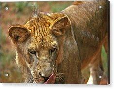 Lion Licking - 1 Acrylic Print by Randy Muir