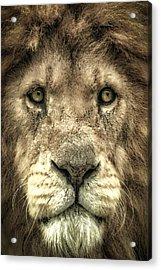 Acrylic Print featuring the photograph Lion Portrait by Chris Boulton