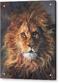 Lion Portrait Acrylic Print by David Stribbling