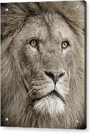 Lion Portrait Acrylic Print by Paul Neville