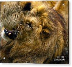 Lion Pride Acrylic Print by White Stork Gallety