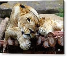 Lion Resting Acrylic Print by Inspirational Photo Creations Audrey Woods