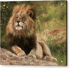 Acrylic Print featuring the painting Lion Resting by David Stribbling