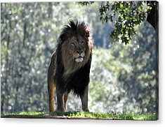 Lion Series 3 Acrylic Print